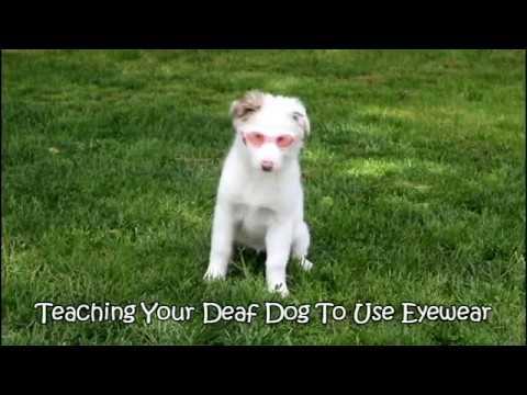 Deaf dog training: Accepting eyewear