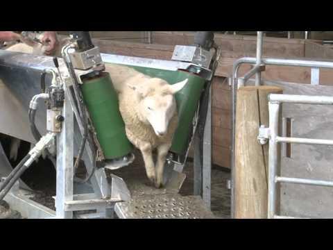 Sheep Conveyor
