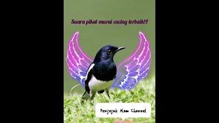 Download Lagu Suara Pikat Murai Cacing terbaik mp3
