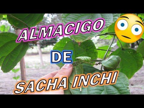 ALMACIGO SACHA INCHI - INTRODUCCION AL CURSO wmv