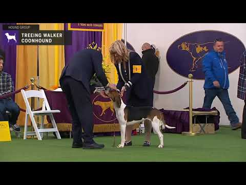 Treeing Walker Coonhounds | Breed Judging 2020