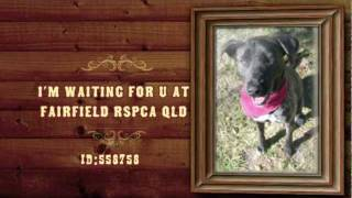 Rspca Qld Fairfield - Adopt A Pet - Tess Is A Sweet Bull Arab X Staffy.mov