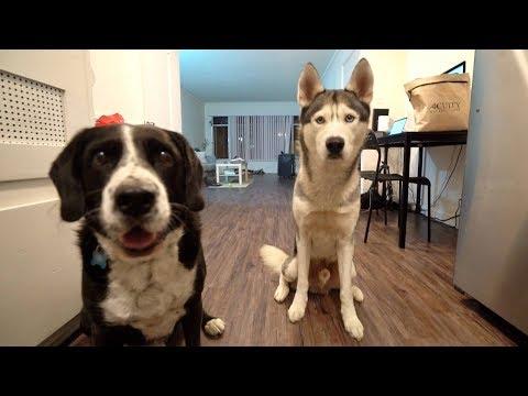 Gohan The Husky Meets a Friend!