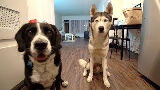 gohan-the-husky-meets-a-friend