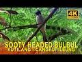 Masteran Suara Burung Kutilang Cangkurileung Sooty Headed Bulbul Sounds  Mp3 - Mp4 Download