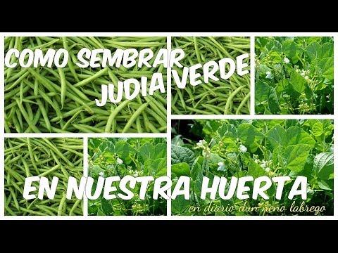 El cultivo de la judia verde y el boliche doovi - Cultivar judias verdes ...