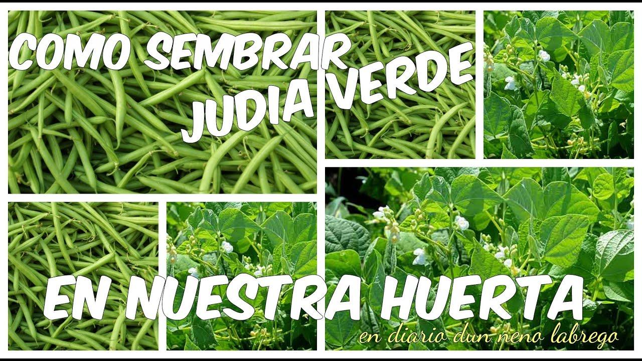 Como sembrar jud a verde en nuestra huerta youtube - Cultivar judias verdes ...