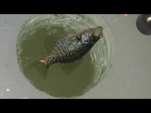 Keeping Stunted Fish From A Small Lake