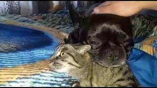 Невероятная дружба Французского бульдога с кошкой