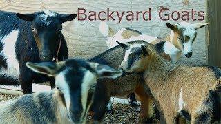 Backyard Goats On An Urban Farm