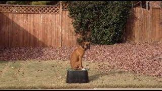Mongo -  6 Month Old Boxer -  Oklahoma Dog Training