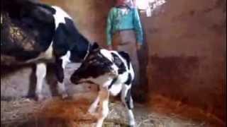 Naissance d'un veau à deux têtes près de Fès, au Maroc High Quality