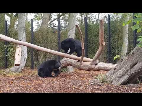 A playing Asiatic black bears