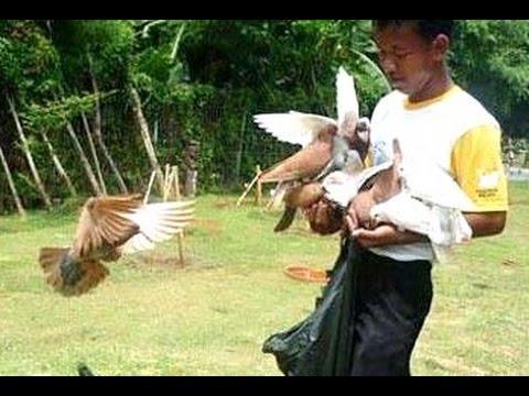 Burung Dara Merpati Balap Kolongan - Racing Pigeon Practice [HD]