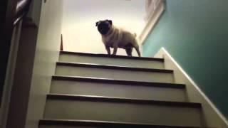 Собака поднимается по лестнице как босс