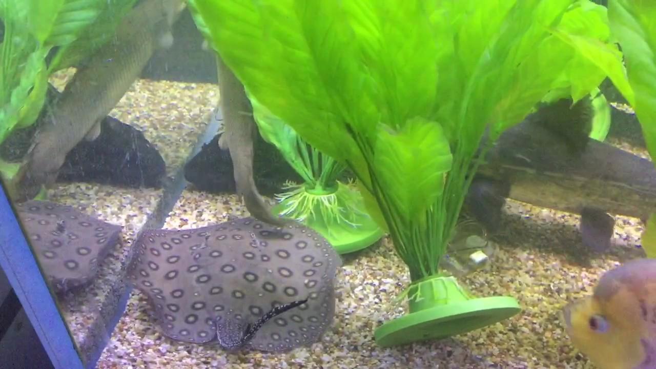 Ultimate freshwater aquarium fish - The Ultimate Large Freshwater Predator Fish The Peacock Bass