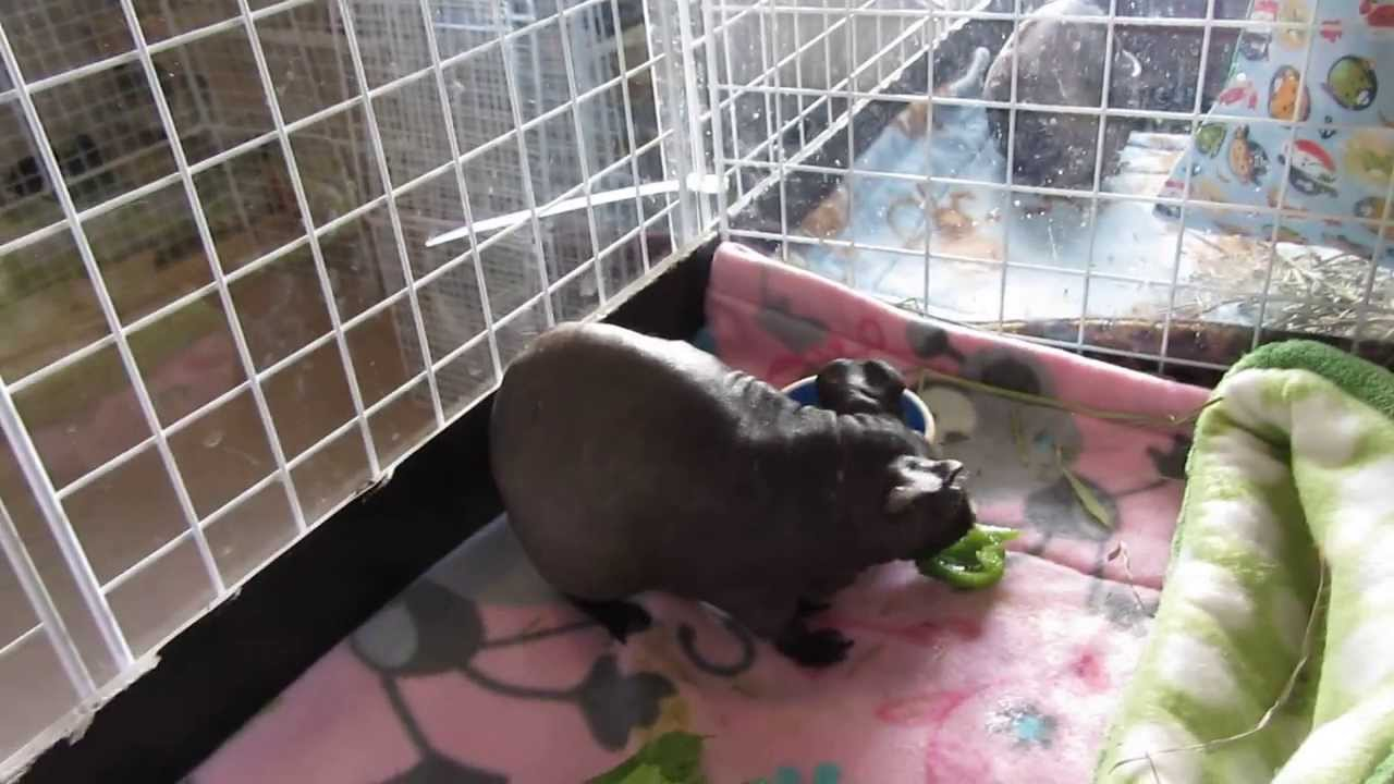 December cage tours guinea pig and rabbit c c cages for Making a c c cage