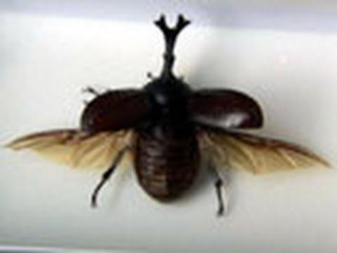 未来をひらく昆虫テクノロジー  (1)カブトムシたちに学ぶ自然の法則