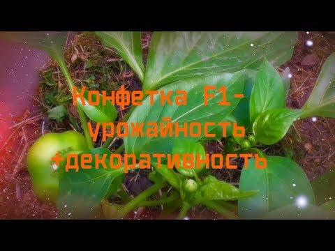 перец Конфетка F1- урожайность + декоративность
