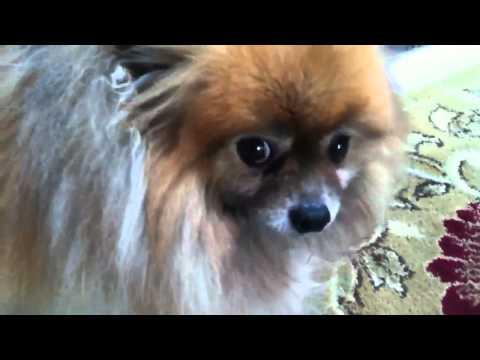 Collapsing Trachea-Pomeranian