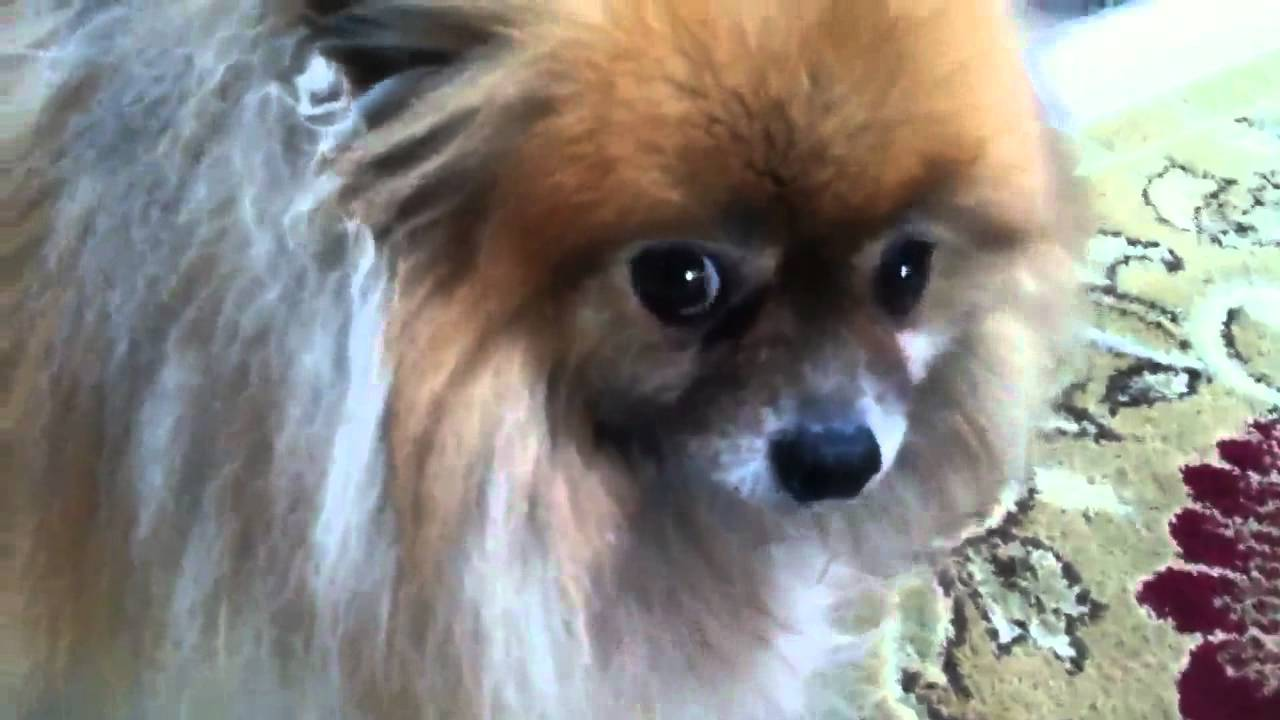 pomeranian cough collapsing trachea pomeranian youtube 7575
