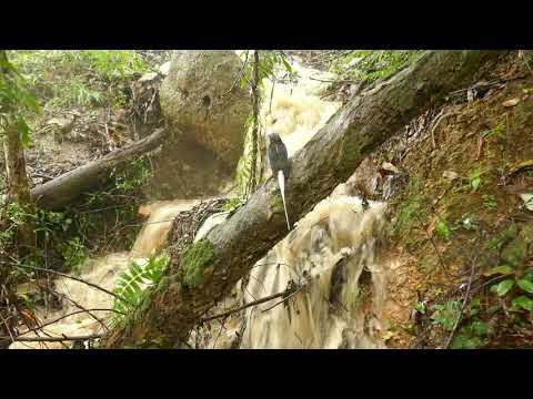 Buff Breasted Paradise Kingfisher Nesting Part 2