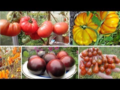 Редкие коллекционные сорта томатов: самые вкусные, урожайные и необычные! | коллекционные | помидоров | необычные | помидоры | томатов | томаты | семена | редкие | томат | сорта