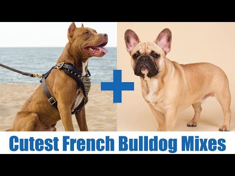 The Cutest French Bulldog Mixes