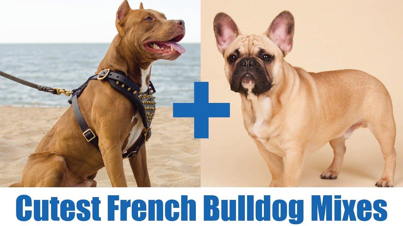 The Cutest French Bulldog Mi You