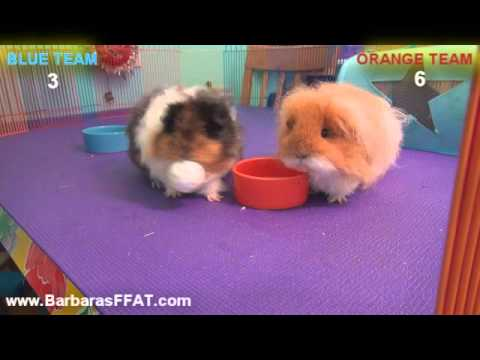 Cute Guinea Pigs Play Basketball