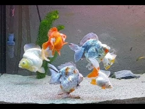 Ryukin Goldfish And Tamasaba Tank Update