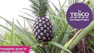 Prickly Pineapples: what is a pineapple?