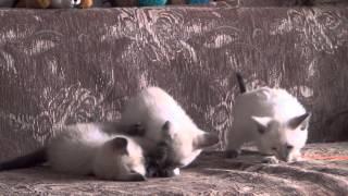 Продаются тайские котята, Новосибирск, 8953-767З-128