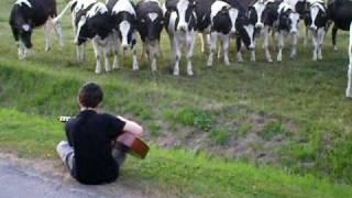 Les vaches aime la musique
