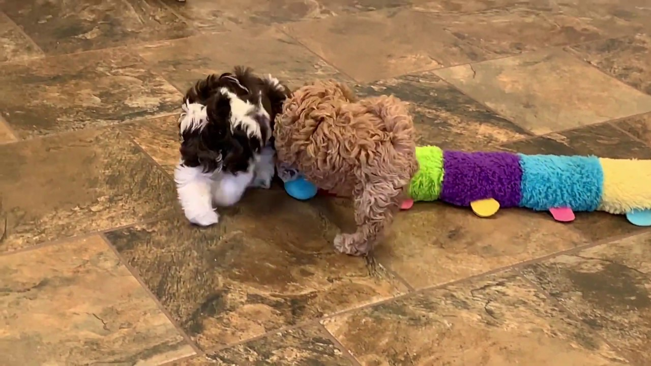 Poochon Puppies for Sale Iowa | Puppy Stars