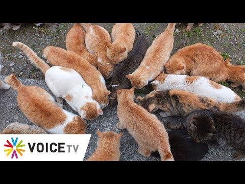 The Toppick - เหมียว 60 ตัวบนเกาะแมวญี่ปุ่นตาย สันนิษฐานถูกวางยา
