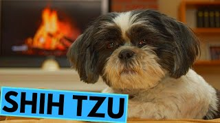 Shih Tzu Dog Breed  Facts and Information