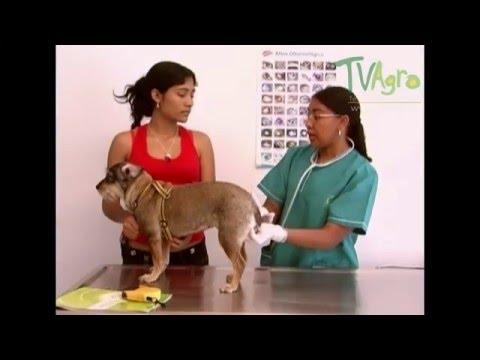 examen de prostata en perros