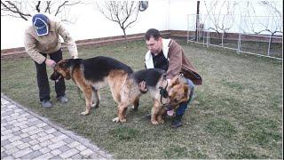 Немецкие овчарки Рой и Киара Ждём щенков в мае German Shepherd Dogs Roy and Kiara Soon the puppies