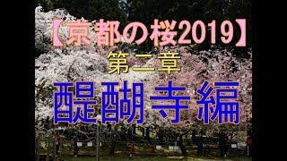 【京都の桜2019】第二章 醍醐寺編 圧巻の桜景色! Kyoto、Cherry Blossoms、Daigoji temple