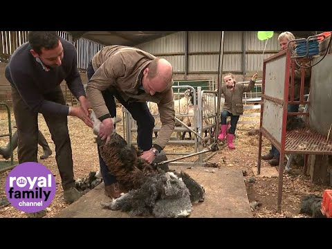 Duke and Duchess of Cambridge try sheep shearing