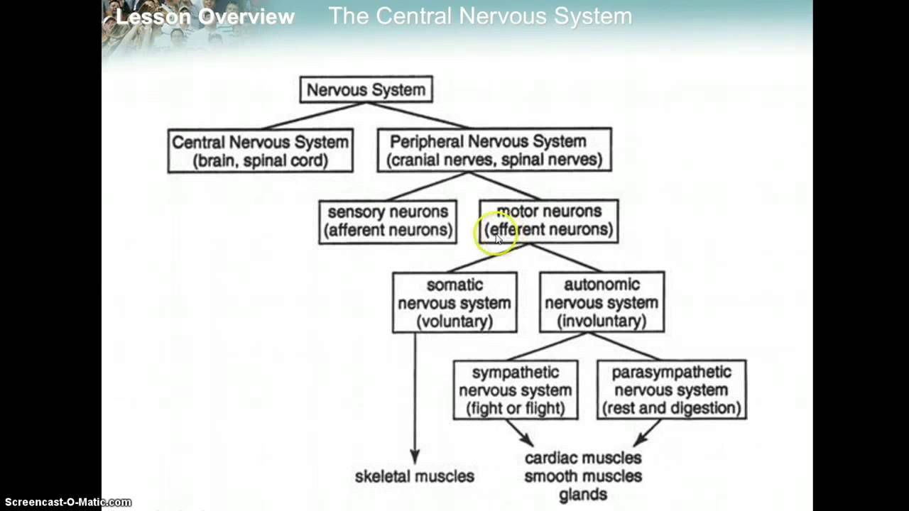 Nervous system flowchart youtube nervous system flowchart ccuart Gallery