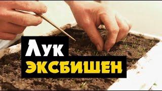 Вырастить лук ЭКСИБИШЕН рассадой(, 2016-04-23T01:00:01.000Z)