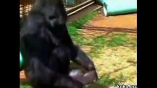 Koko el gorila llora por la pérdida de un gatito.