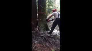 Dropping A Big Alder Tree