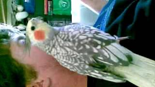 Female Cockatiel Whistling