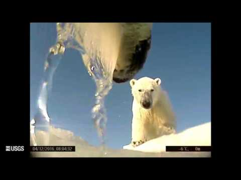 Point-of-view camera reveals polar bears in action