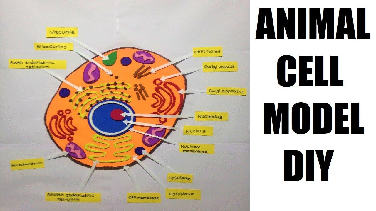 animal cell model making for science fair | diy for ...