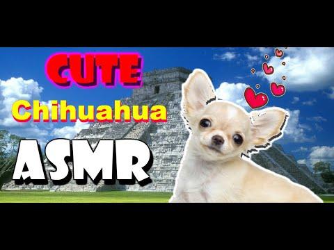 Cute Chihuahua Eating Snacks!