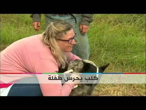 #بي_بي_سي_ترندينغ: #أستراليون يحتفون بـ #كلب ويكرمونه لقاء حراسته لطفلة صغيرة  - نشر قبل 16 دقيقة